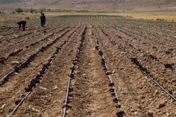 ۶۰۰ هکتار از مزارع استان ایلام طعمه حریق شد