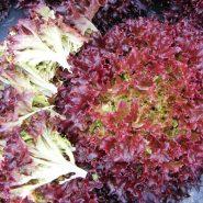 بذر کاهو فرانسوی قرمز