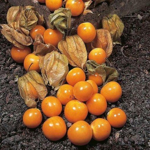 بذر میوه فیسالیس بسته ۱۰۰ تایی