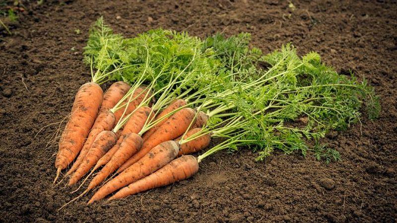 کشت هویج