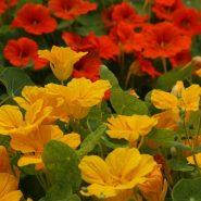 بذر گل لادن خوراکی
