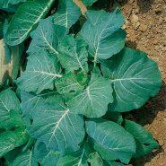 کولارد آبی-سبز بسته بذر ۵۰ عددی