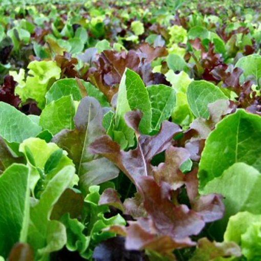 بذر کاهو میکس