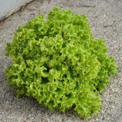 کاهو فرانسوی سبز بسته بذر ۴۰۰ عددی