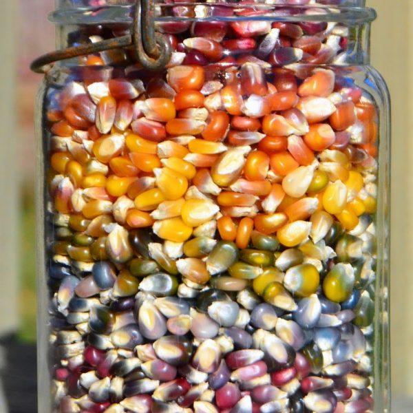 بذر ذرت رنگارنگ