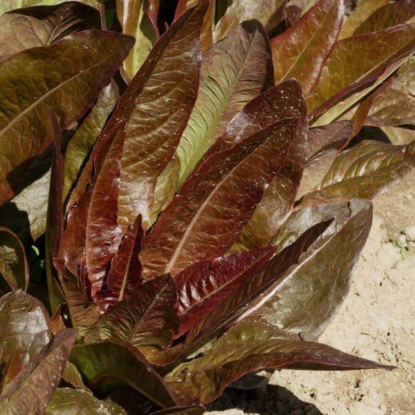 بذر کاهو قرمز تانگو