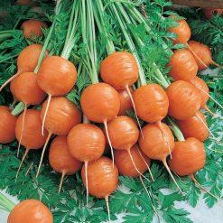 بذر هویج گرد