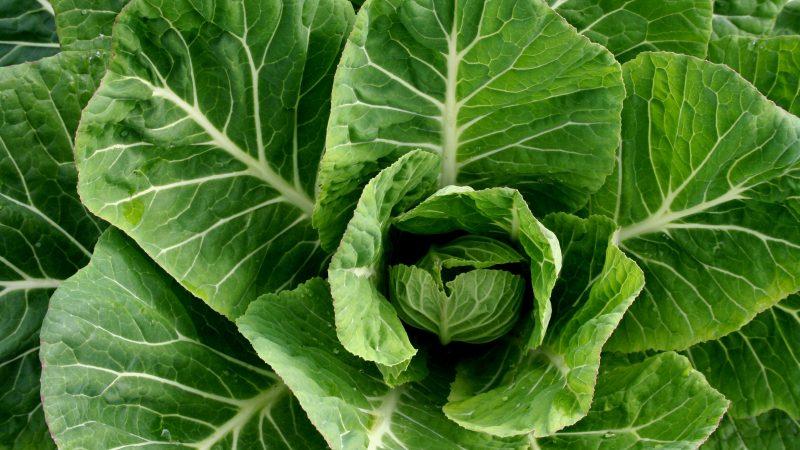 بذر کولارد سبز