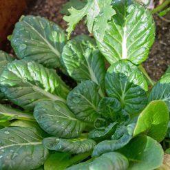 بذر خردل تاتسوی