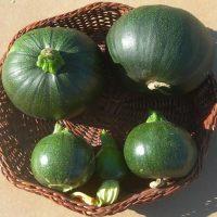بذر کدو دلمه سبز هیبرید