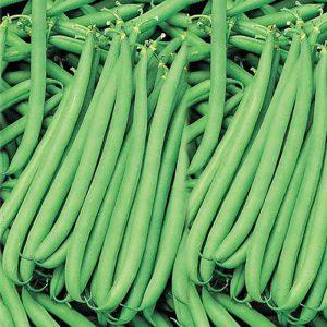 کشت لوبیا سبز