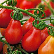 بذر گوجه گلابی قرمز