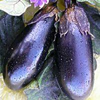 بذر بادمجان هیبرید پنتر