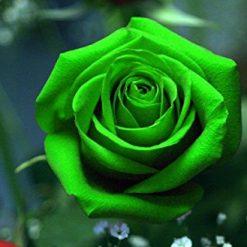 بذر گل رز سبز