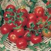 بذر گوجه فرنگی چری درشت خوشه ای