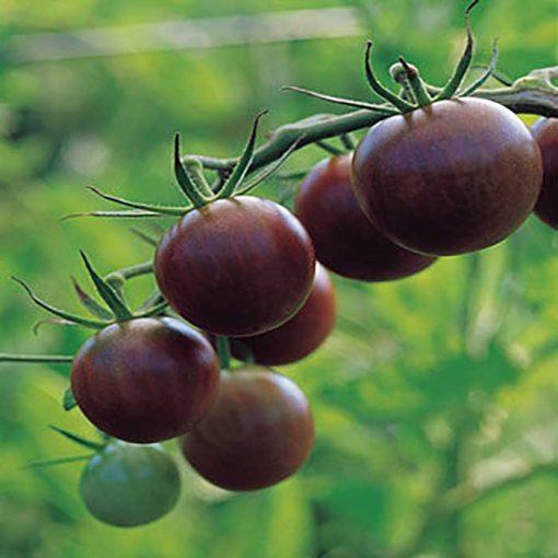 گوجه چری مشکی