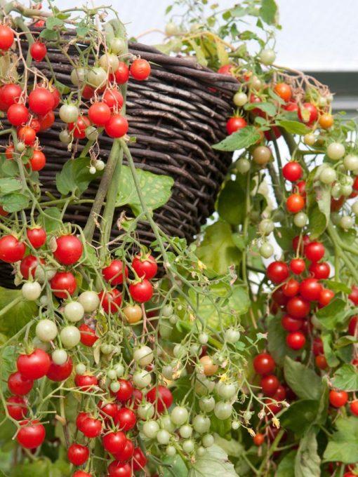 بذر گوجه فرنگی گیلاسی قرمز