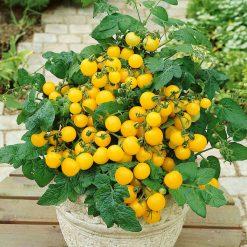 بذر گوجه فرنگی چری زرد