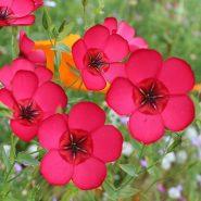 بذر گل کتان قرمز