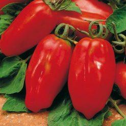 گوجه فرنگی قرمز زنگوله ای