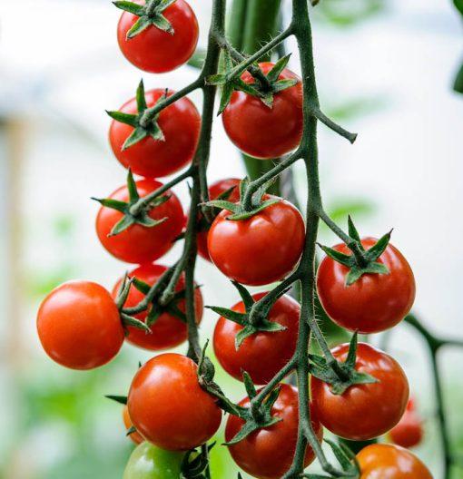 بذر گوجه فرنگی چری درشت