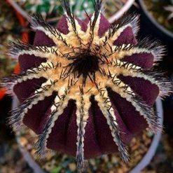 اوبلمانیا پکتینیفرا