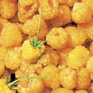 بذر رزبری زرد
