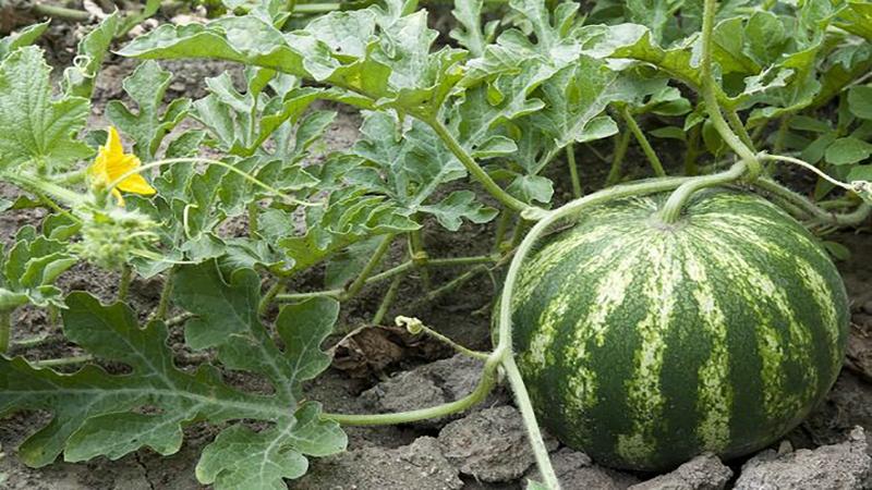 توقف رشد هندوانه