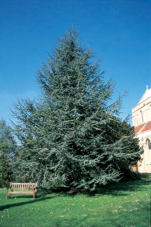 بذر درخت سدروس آتلانتیکا