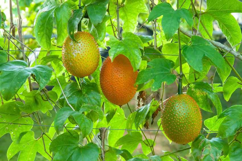 میوه گاک