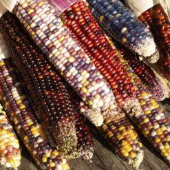 بذر ذرت رنگین کمان هندی