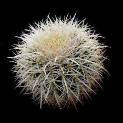 بذر اچینوگروزونی تیغ سفید