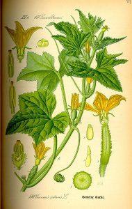 گیاه شناسی خیار سبز