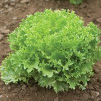 بذر کاهو سوزنی سبز