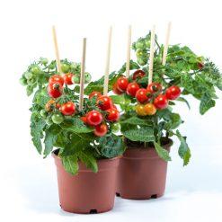 بذر گوجه گیلاسی پاکوتاه گلدانی