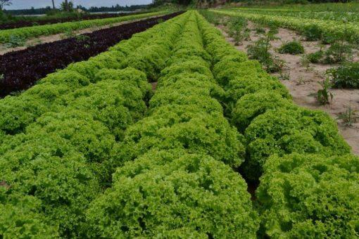 بذر کاهو فرانسوی سبز