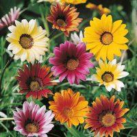بذر گل گازانیا