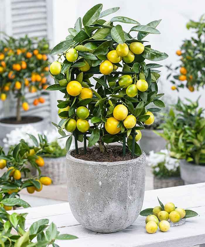 نهال لیمو چهار فصل یا همان لایمکوات به همراه معرفی کامل و راهنمای کاشت