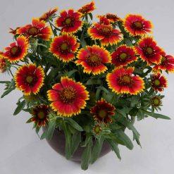 بذر گل رعنازیبا دورنگ