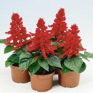 بذر گل سلوی قرمز