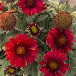 بذر گل رعنازیبا قرمز