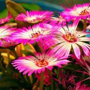 بذر گل ناز فرانسوی
