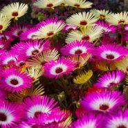 بذر گل ناز