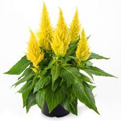 بذر گل تاج خروس زرد