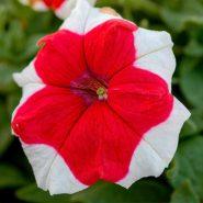 بذر گل اطلسی قرمز