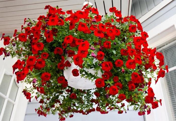 بذر گل اطلسی آبشاری قرمز