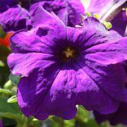 بذر گل اطلسی بنفش