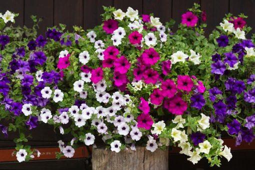 بذر گل اطلسی آویز