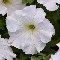 بذر گل اطلسی سفید