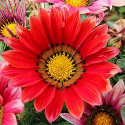 بذر گل گازانیا سایه های سرخ